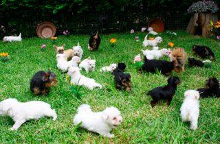 Venta de Perros Miniatura