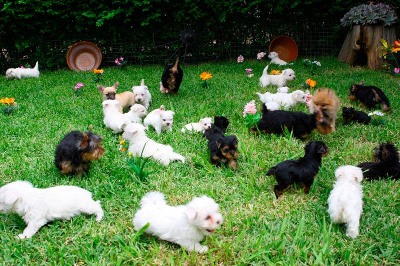 Perros Miniaturas de Criadero de Cantillana