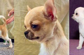 Cachorro chihuahua gracioso
