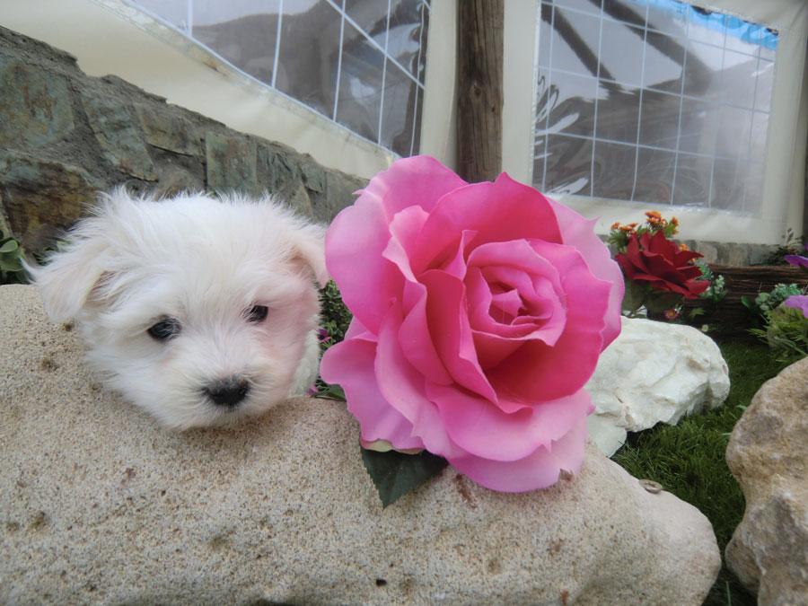 Cachorros bichón maltés - Criadero Cantillana