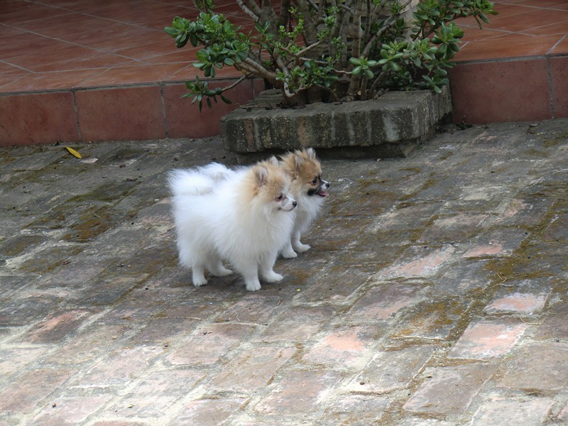 Cachorros pomerania - Criadero Cantillana