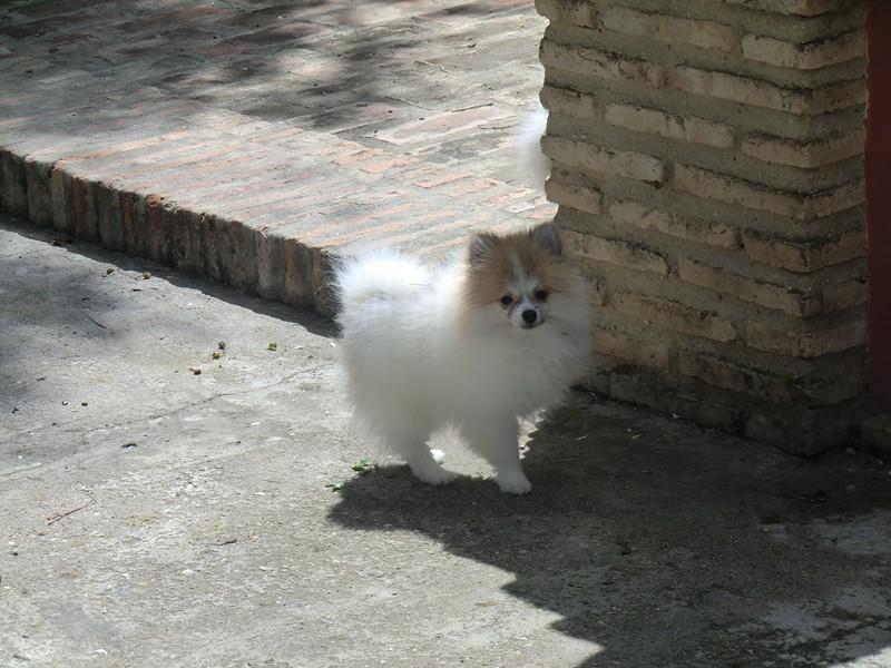 Perro pomerania - Criadero Cantillana