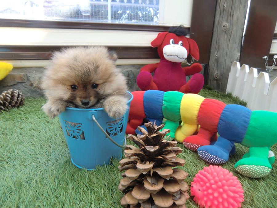 Venta cachorro pomerania - Criadero Cantillana
