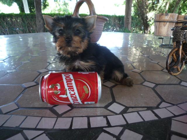 Yorkshire terrier - Criadero Cantillana