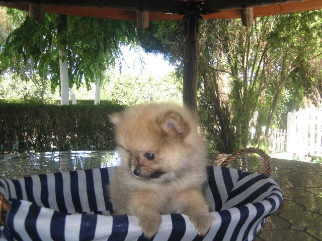 Cachorro pomerania - Criadero Cantillana