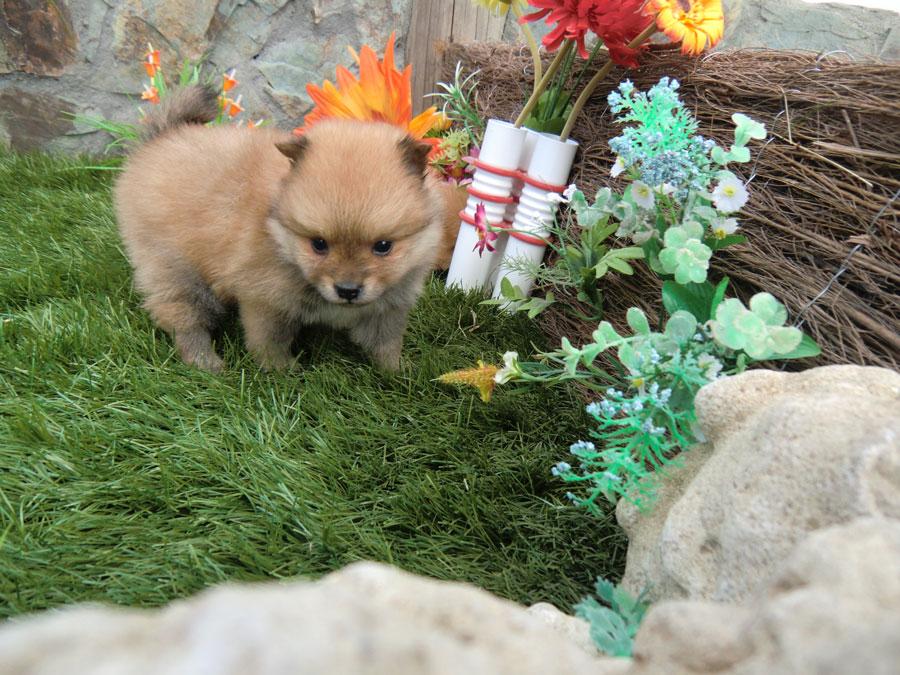 Pomerania cachorro - Criadero Cantillana