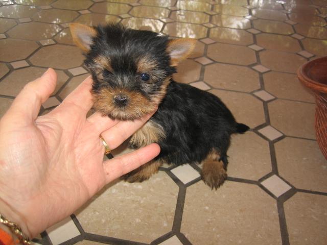 yorkshire terrier toy venta - Criadero Cantillana