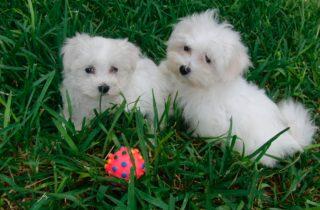 Cachorros Bichón Maltés en venta - Criadero Cantillana