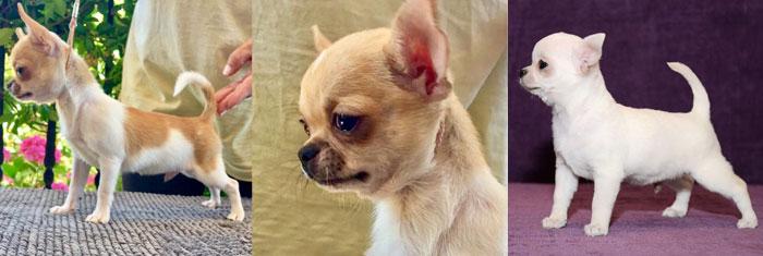 Chihuahua cachorro - Criadero Cantillana