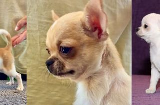 Chihuahuas (chiguaguas) toy - Criadero Cantillana