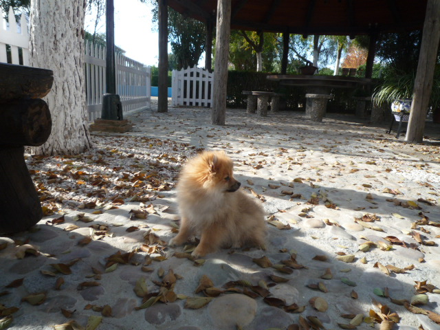 Perro raza Pomerania - Criadero Cantillana
