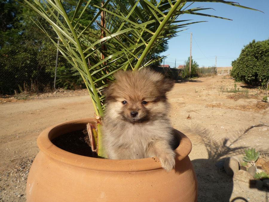 Pomerania miniatura - Criadero Cantillana