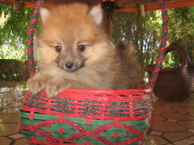 Pomeranian precio - Criadero Cantillana