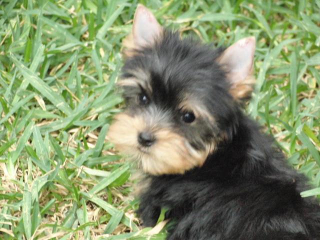 Terrier Yorkshire - Criadero Cantillana