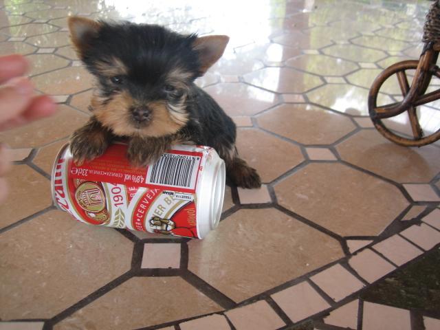 Yorkshire terrier miniatura - Criadero Cantillana
