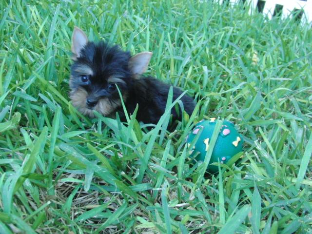 Perro Yorkshire Toy - Criadero Cantillana