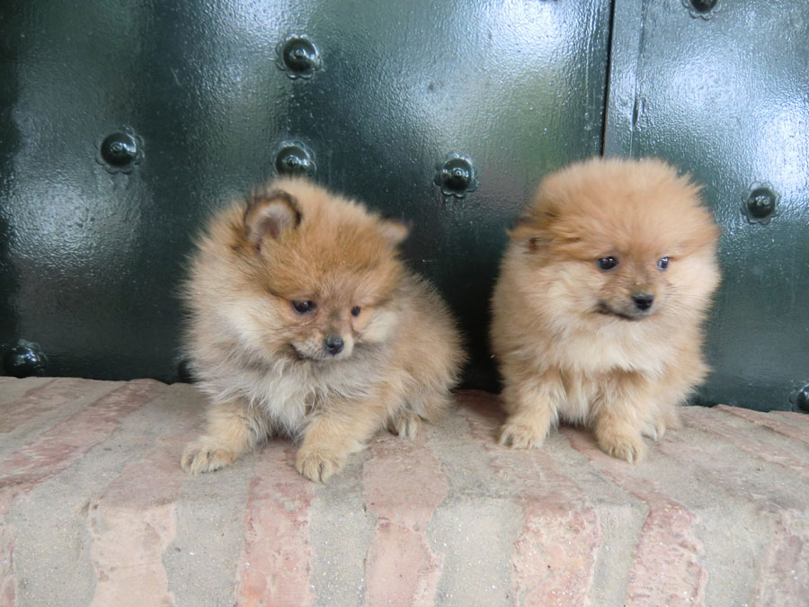 Perros Pomeranias - Criadero Cantillana