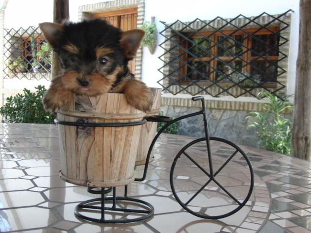 Vendo Yorkshire Terrier - Criadero Cantillana
