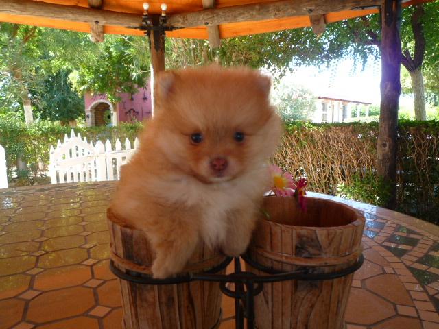Cachorro Pomerania - Criadero de Cantillana