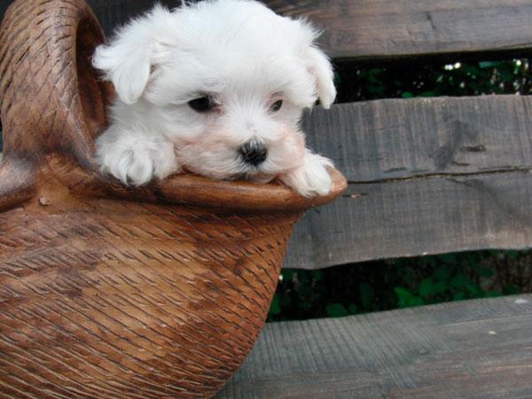 Cachorro bichón maltés - Criadero Cantillana