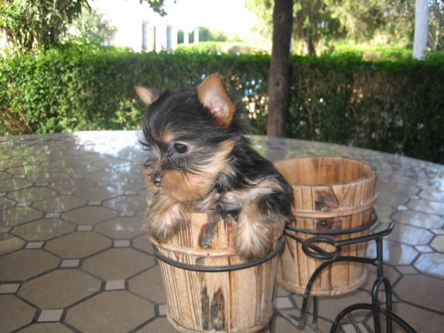 Comprar Perro Yorkshire - Criadero Cantillana