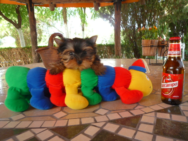 Compro Yorkshire Terrier - Criadero Cantillana