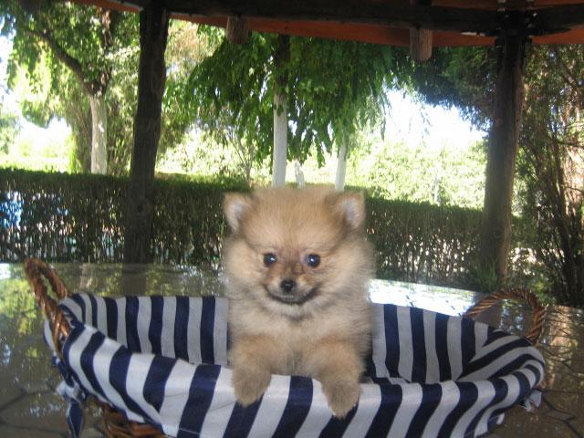 Perro Pomerania Precio - Criadero de Cantillana