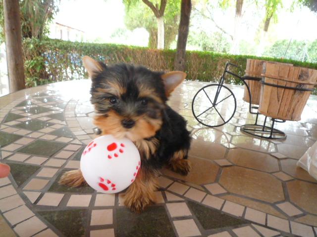 Toy Yorkshire Terrier - Criadero Cantillana