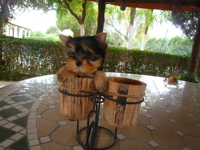 Venta Yorkshire Terrier - Criadero Cantillana