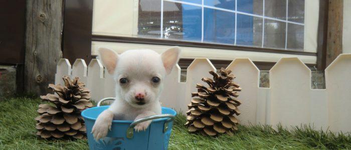 Historia raza Chihuahua