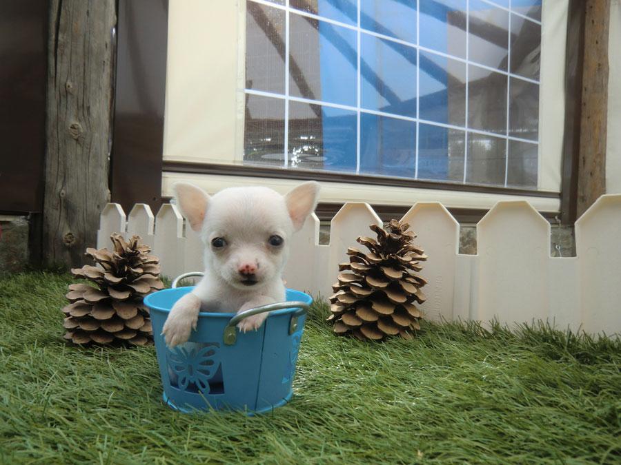 Historia De La Raza De Perro Chihuahua