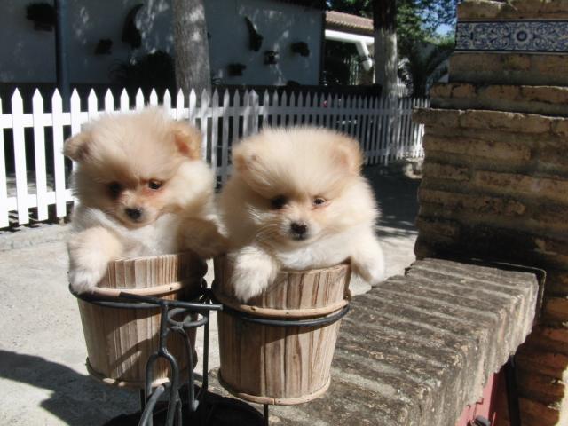 Perros Pomeranias - Criadero de Cantillana