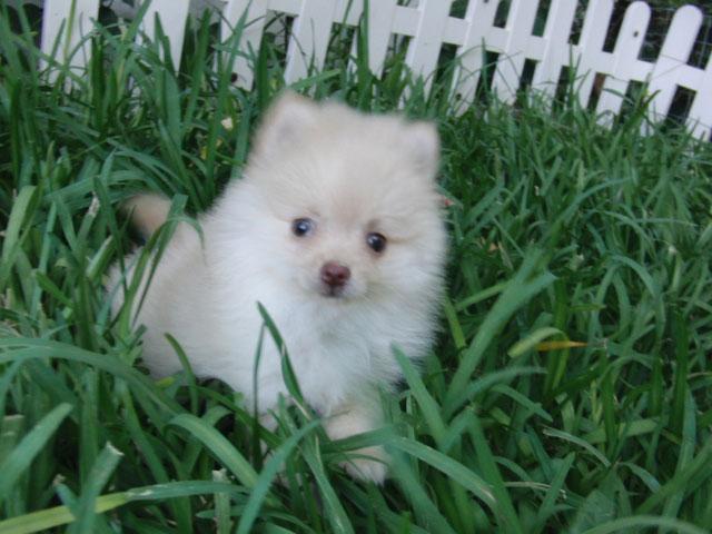 Precio Perro Pomerania - Criadero de Cantillana