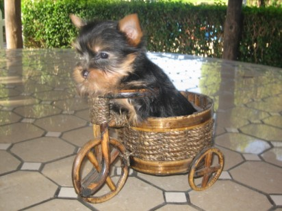 Yorkshire Terrier Toy venta