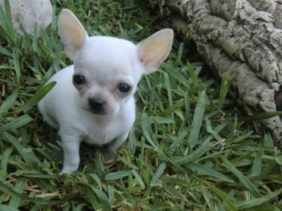 Precio de un Chihuahua toy