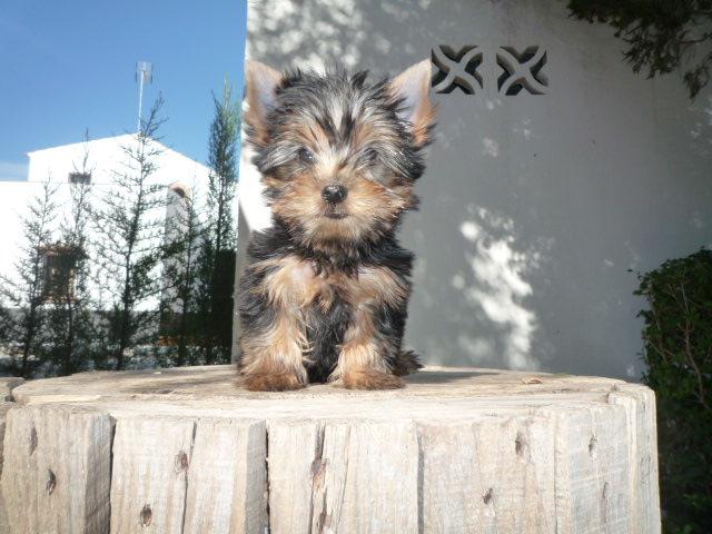 Cuidados básicos Yorkshire Terrier