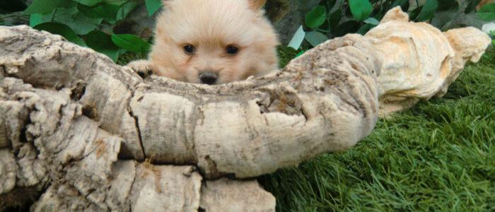 Cachorro Pomerania - Venta
