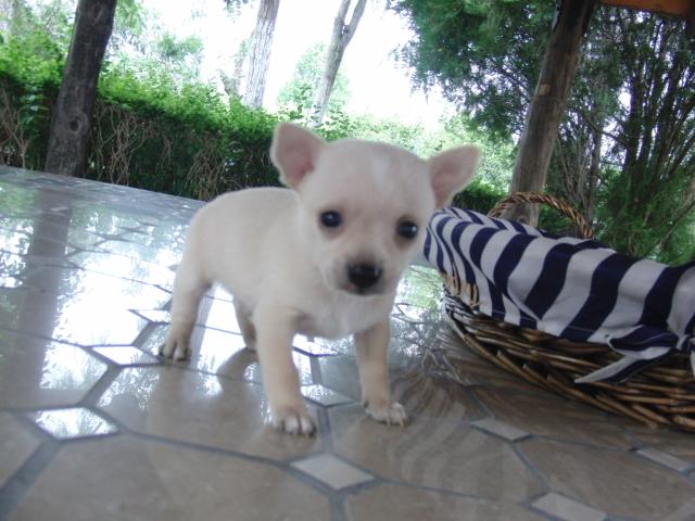 El carácter del Chihuahua