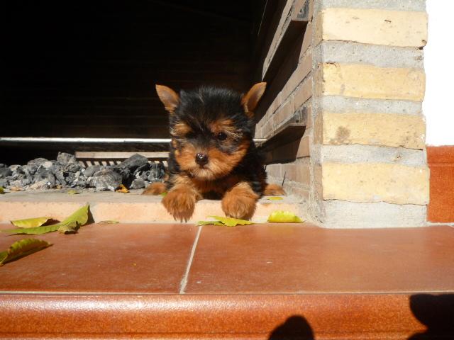 Perro Yorkshire Terrier - Venta