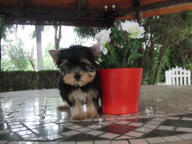Compro Perro Yorkshire - Venta