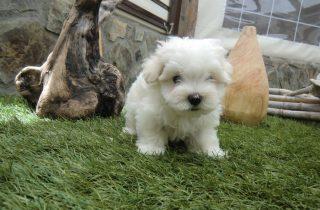 Bichón Maltés Toy Cachorro - Comprar