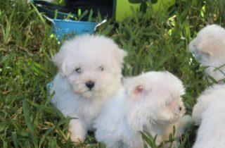Cachorros Bichón Maltés en Venta - Comprar