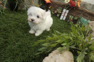 Venta Cachorros Bichón Maltés - Comprar