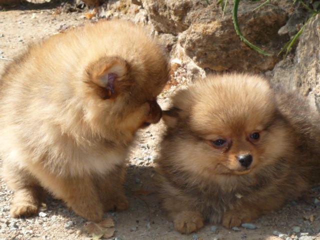 Venta de Cachorros Pomerania