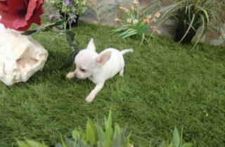 Chihuahuas Toy - Comprar