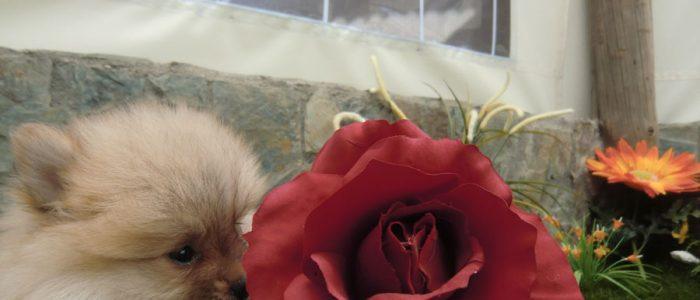 Pomerania Cachorro - Precio Irresistible