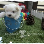 cachorros bichon maltes en venta