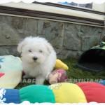 bichon maltes toy cachorro