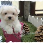 venta cachorros bichon maltes