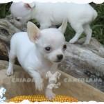 criadero chihuahua